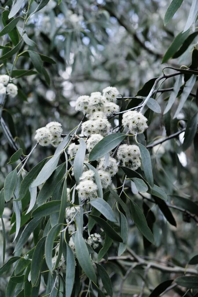 Eucalyptus at Kew Children's Garden