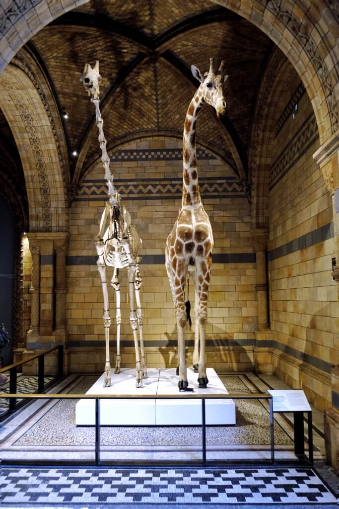 Natural-history-museum-hintze-hall-giraffes