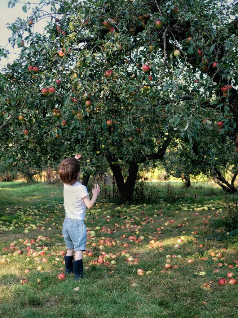 Boy_picking_apples_in_orchard