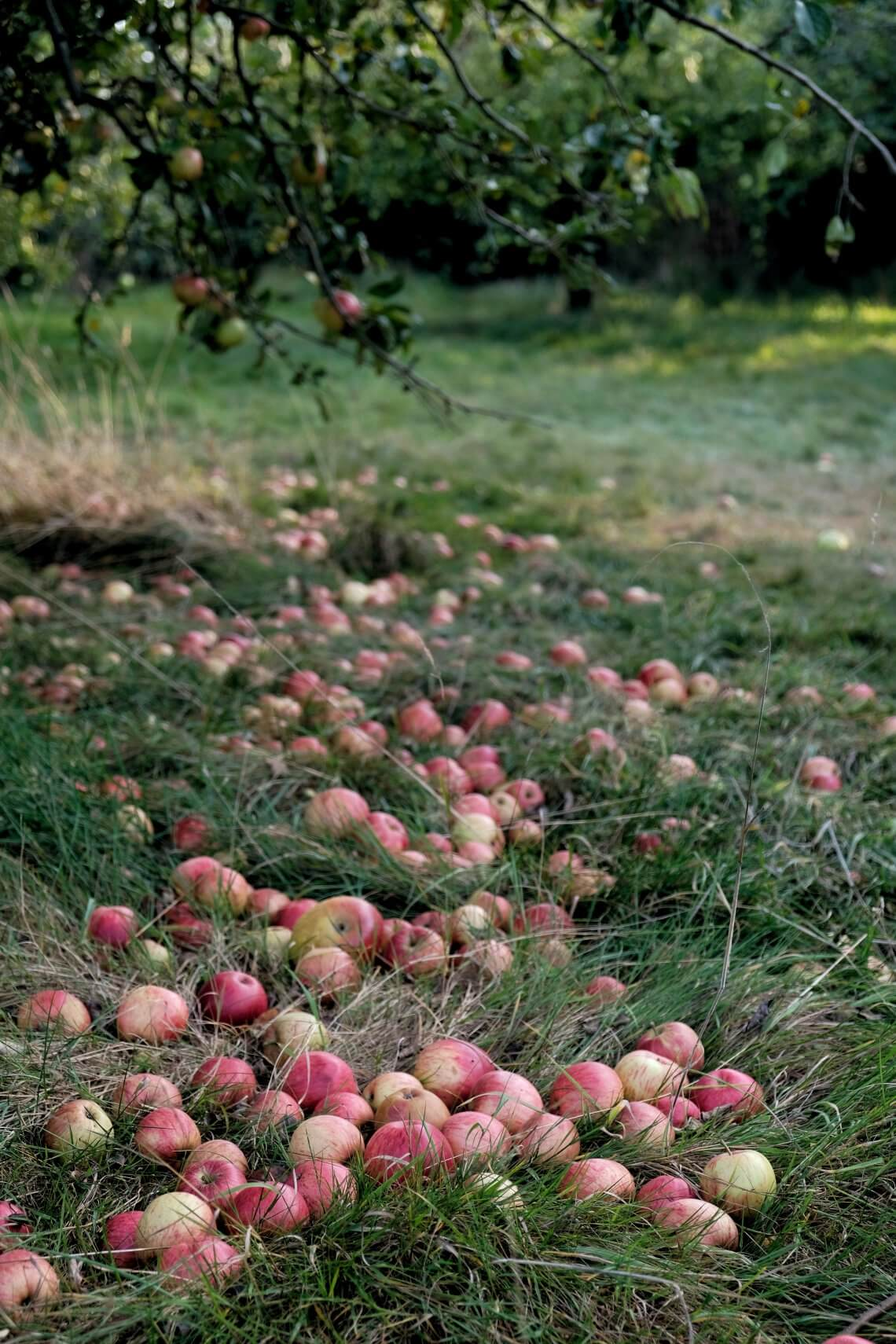 Fallen_apples_on_ground