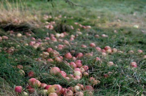 Fallen_apples_on_ground