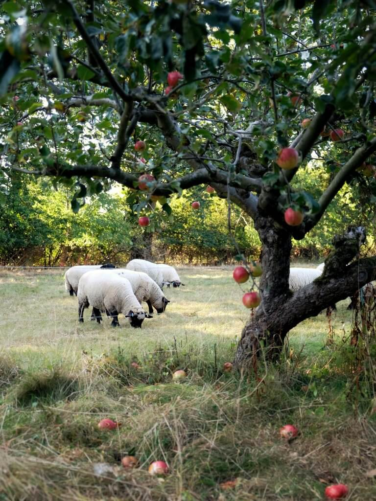 Sheep_in_apple_orchard